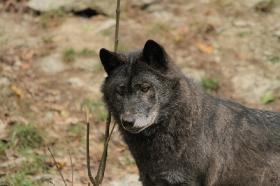 Wolf_BadM1110-Black-6
