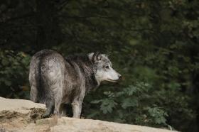 Wolf_BadM1110-Black-8