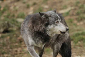 Wolf_BadM1110-Black-9