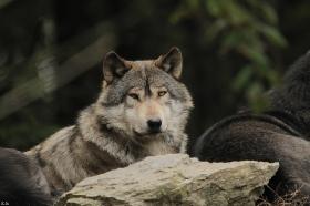 Wolf_BadM1110-Brown-10