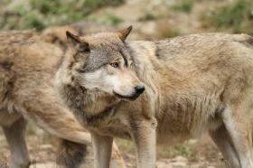 Wolf_BadM1110-Brown-11