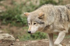 Wolf_BadM1110-Brown-12