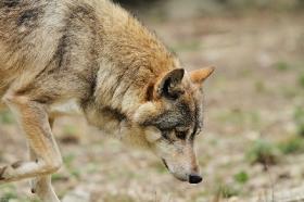 Wolf_BadM1110-Brown-14