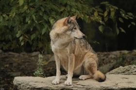 Wolf_BadM1110-Brown-15