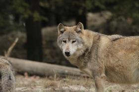 Wolf_BadM1110-Brown-16