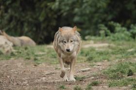 Wolf_BadM1110-Brown-17