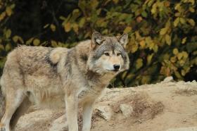 Wolf_BadM1110-Brown-18