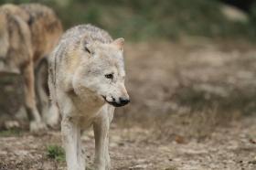 Wolf_BadM1110-Brown-19