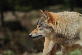 Wolf_BadM1110-Brown-1