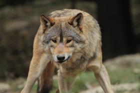 Wolf_BadM1110-Brown-2