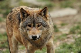 Wolf_BadM1110-Brown-3