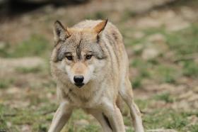 Wolf_BadM1110-Brown-4