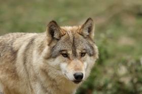Wolf_BadM1110-Brown-5