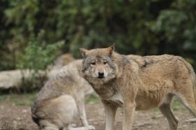 Wolf_BadM1110-Brown-6