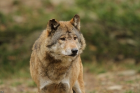 Wolf_BadM1110-Brown-7