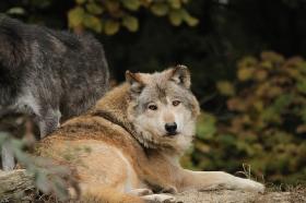 Wolf_BadM1110-Brown-8