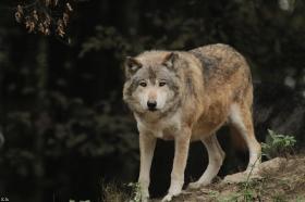 Wolf_BadM1110-Brown-9