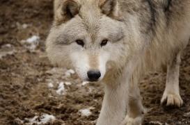 WolfScienceCenter1201Ria_Nanuk-01