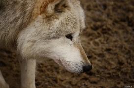 WolfScienceCenter1201Ria_Nanuk-02