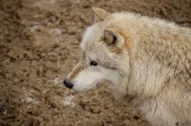 WolfScienceCenter1201Ria_Nanuk-03