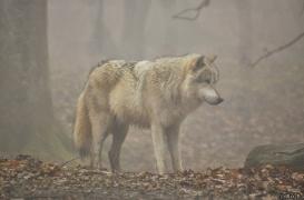 WolfScienceCenter1201Ria_Nanuk-1