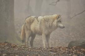 WolfScienceCenter1201Ria_Nanuk-2