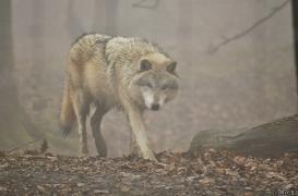 WolfScienceCenter1201Ria_Nanuk-3