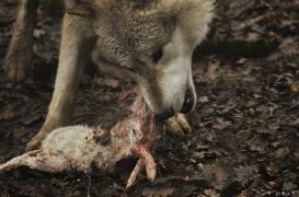 WolfScienceCenter1201Ria_Nanuk-4