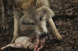WolfScienceCenter1201Ria_Nanuk-5