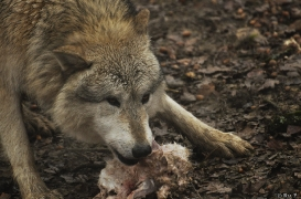 WolfScienceCenter1201Ria_Nanuk-6
