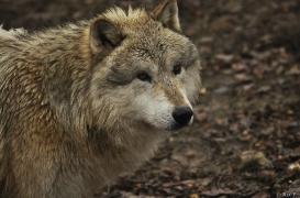 WolfScienceCenter1201Ria_Nanuk-7