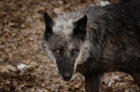 WolfScienceCenter1201Ria_Shima-01