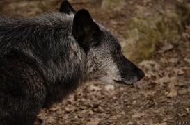 WolfScienceCenter1201Ria_Shima-02