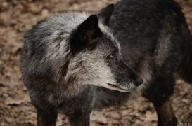 WolfScienceCenter1201Ria_Shima-03