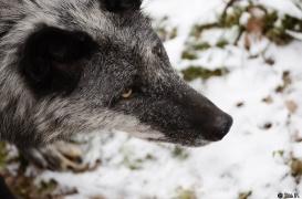 WolfScienceCenter1201Ria_Shima-04