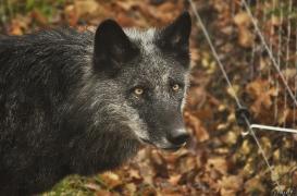 WolfScienceCenter1201Ria_Shima-1