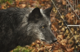 WolfScienceCenter1201Ria_Shima-2