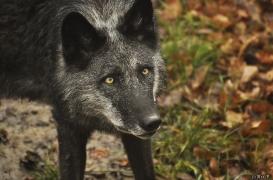 WolfScienceCenter1201Ria_Shima-3