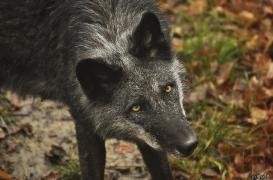 WolfScienceCenter1201Ria_Shima-4