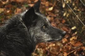 WolfScienceCenter1201Ria_Shima-5