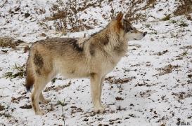 WolfScienceCenter1201Ria_Tala-01