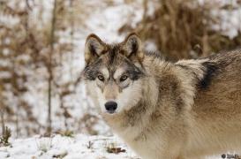 WolfScienceCenter1201Ria_Tala-02