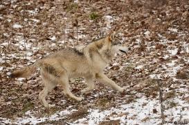 WolfScienceCenter1201Ria_Tala-03