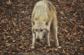 WolfScienceCenter1201Ria_Tatonga-1