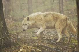 WolfScienceCenter1201Ria_Tatonga-2