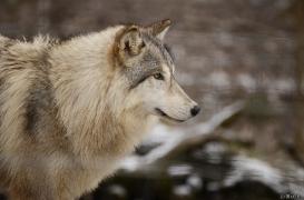 WolfScienceCenter1201Ria_Una-01