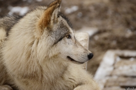 WolfScienceCenter1201Ria_Una-02