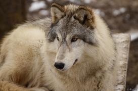 WolfScienceCenter1201Ria_Una-03