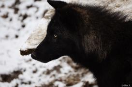 WolfScienceCenter1201Ria_Wamblee-02