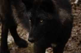 WolfScienceCenter1201Ria_Wamblee-03